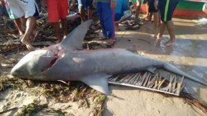 Tubarão é capturado no rio São Francisco